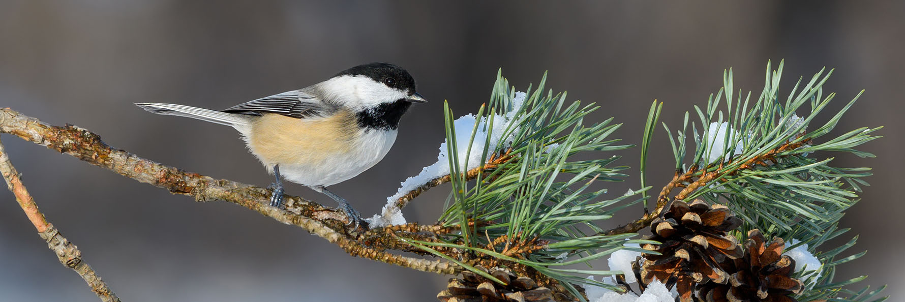 chickadee sitting a snow covered branch